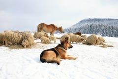 Собака и овцы стоковая фотография rf