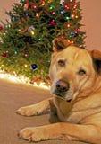 Собака и рождественская елка Стоковые Изображения