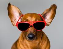 Собака и стекла стоковые фотографии rf