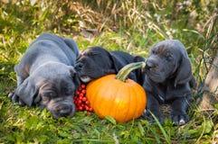 Собака и тыква большого датчанина Стоковые Фото