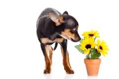 Собака и цветки изолированные на белой предпосылке Стоковые Фотографии RF