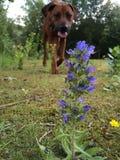 Собака и цветок Стоковое фото RF
