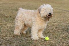 Собака и шарик стоковое изображение rf
