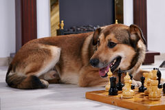Собака и шахмат против камина. Стоковое фото RF