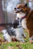 Собака и щенок Elo играя outdoors Стоковое Фото