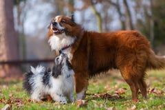 Собака и щенок Elo играя outdoors Стоковые Изображения