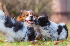 Собака и щенята Elo играя outdoors Стоковые Фотографии RF