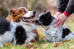 Собака и щенята Elo играя outdoors Стоковое Изображение RF