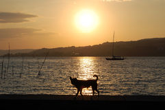 Собака идя на заход солнца Стоковая Фотография