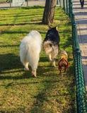 Собака идя совместно Стоковая Фотография RF
