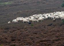 Собака и Ram пастуха овец Стоковые Изображения RF