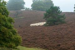 Собака и Ram пастуха овец Стоковые Фото
