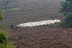 Собака и Ram пастуха овец Стоковые Изображения