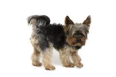 Собака Йорка на белом комплекте предпосылки Стоковое фото RF