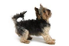 Собака Йорка на белом комплекте предпосылки Стоковые Изображения RF