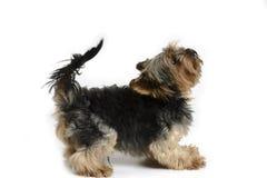 Собака Йорка на белом комплекте предпосылки Стоковые Изображения