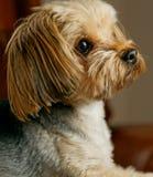 Собака Йорка Стоковая Фотография RF