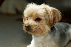 Собака Йорка Стоковое Фото