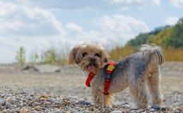 Собака Йорка Стоковое Изображение RF