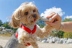 Собака Йорка Стоковые Фотографии RF