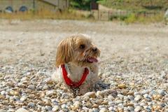 Собака Йорка Стоковая Фотография