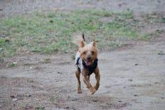 Собака, йоркширский терьер породы тяжело гружёный стоковое изображение