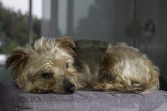 Собака, йоркширский терьер породы тяжело гружёный стоковая фотография
