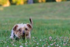 Собака, йоркширский терьер породы тяжело гружёный стоковые фото