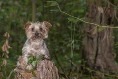 Собака, йоркширский терьер породы тяжело гружёный стоковые изображения rf