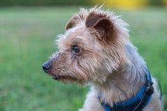 Собака, йоркширский терьер породы тяжело гружёный стоковое изображение rf