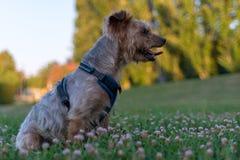 Собака, йоркширский терьер породы тяжело гружёный стоковые изображения