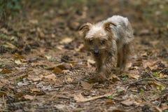 Собака, йоркширский терьер породы тяжело гружёный стоковые фотографии rf
