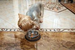 Собака йоркширского терьера ест от шара Стоковое Изображение
