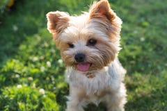 Собака йоркширского терьера на зеленой траве Стоковое Изображение