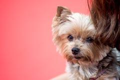 Собака йоркширского терьера на красной предпосылке стоковая фотография