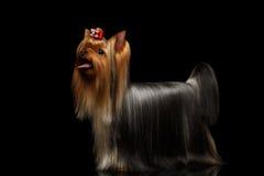 Собака йоркширского терьера показывая язык на черноте Стоковая Фотография RF