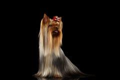 Собака йоркширского терьера показывая язык на черноте Стоковая Фотография