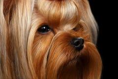 Собака йоркширского терьера портрета крупного плана на черноте Стоковые Фотографии RF