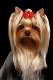 Собака йоркширского терьера портрета крупного плана на черноте Стоковое Изображение