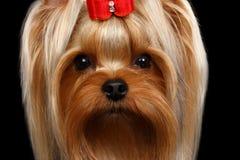 Собака йоркширского терьера портрета крупного плана на черноте Стоковое Изображение RF