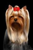 Собака йоркширского терьера портрета крупного плана на черноте Стоковая Фотография RF