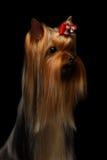 Собака йоркширского терьера портрета крупного плана на черноте Стоковые Изображения