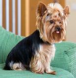 Собака йоркширского терьера сидя на софе Стоковое Изображение RF