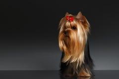 Собака йоркширского терьера стоит и смотрящ налево на черноте Стоковая Фотография