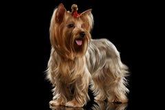 Собака йоркширского терьера стоя на зеркале, выхоленных волосах, изолированной черноте Стоковое Изображение
