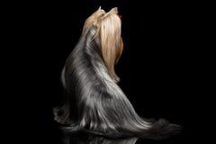 Собака йоркширского терьера с длинными выхоленными волосами сидит на черноте Стоковое фото RF