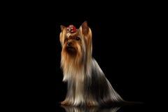 Собака йоркширского терьера с длинными выхоленными волосами сидит на черноте Стоковая Фотография RF