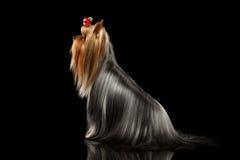 Собака йоркширского терьера с длинными выхоленными волосами сидит на черноте Стоковое Изображение