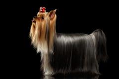 Собака йоркширского терьера с длинными выхоленными волосами стоит на черноте Стоковые Изображения