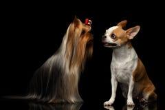Собака йоркширского терьера с чихуахуа сидит на черноте Стоковая Фотография RF